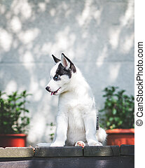 A small white dog puppy breed siberian husky