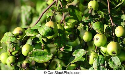Small wild apples on the tree