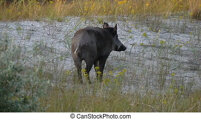 A small wild boar walks on the Black Sea coast in slo-mo