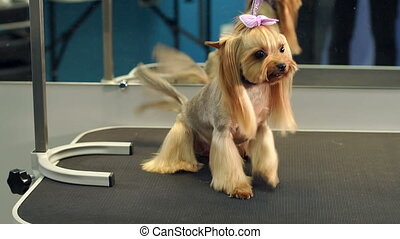 A small Yorkshire Terrier stands on a table in a veterinary clinic.