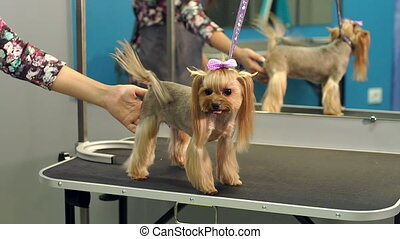 A small Yorkshire Terrier stands on a table in a veterinary clinic. Portrait