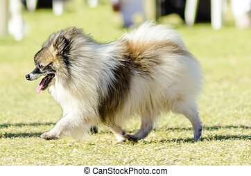 Miniature German Spitz - A small young beautiful fluffy...