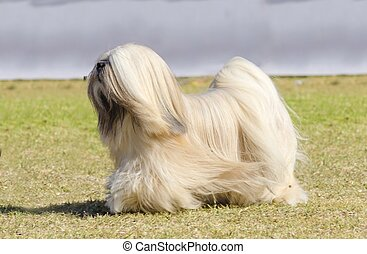 Lhasa Apso - A small young light tan, fawn, beige, gray and ...