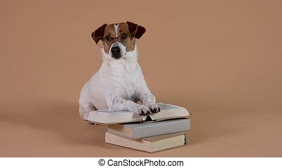 A smart dog in glasses of the Jack Russell breed spends time reading books. A pet near a stack of books in the studio on a brown background, its front paws lie on an open book. Slow motion. Close up.