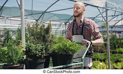 A smiling young gardener in an apron, with the help of a garden carriage, carries ornamental plants into the greenhouse. Sunny day, soft day light.