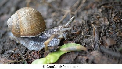 A snail, Helix pomatia, with tentacle antennas crawls in the...