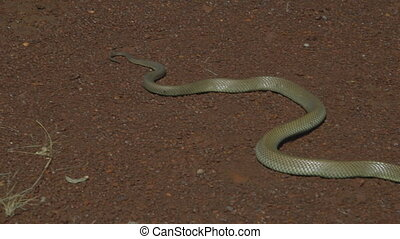 A snake hissing on the ground - A close up of a snake...