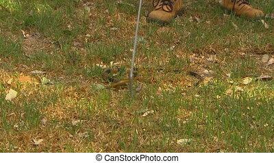 A snake wrangler grabbing a gwardar with a hook - Wide shot...
