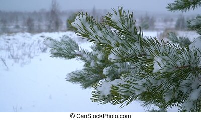 A snow-covered fir branch sways in the wind in winter
