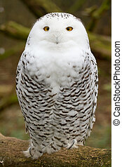 A snow owl in captivity