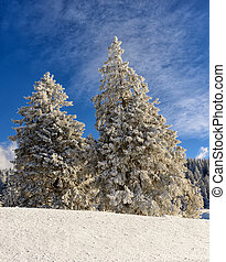 snowy pine trees with blue sky