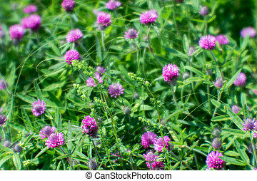 A soft blur. Pink clover flowers against a green summer meadow. Natural background.