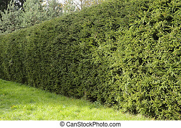 a solid green hedge of spruce - a solid thick green hedge of...
