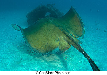 A Southern Atlantic Stingray swimming in the sand near an artificial reef.