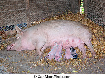 A sow with newborn piglets