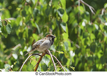 A sparrow, a male, sits on a birch branch. Summer, day.