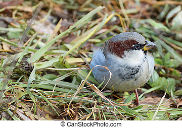 A Sparrow lurking in the grass.