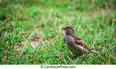 A sparrow resting in the grass.