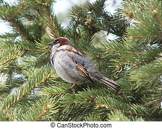 A sparrow sitting on a fir tree