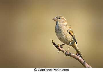 A sparrow standting on a twig.