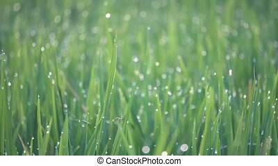A spider is climb at green paddy field leaves. Droplets is seen in early morning.