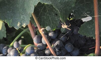 A Spider on a Web Over Grapes at a Vineyard