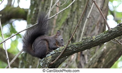 A splendid squirrel eats some nut on a tree branch in slo-mo