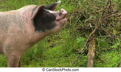 A spotted pig eating an apple - As shot of a spotted pig as...