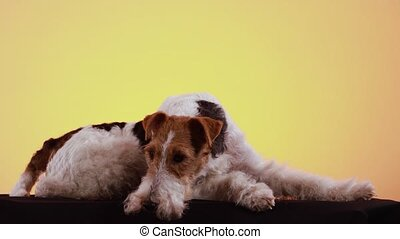 A spotted wirehaired fox terrier lies in the studio on a black blanket against a yellow orange gradient background. Someone blows soap bubbles and the dog watches them closely. Close up