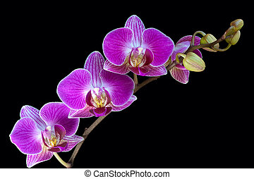 A spray of Orchid flowers