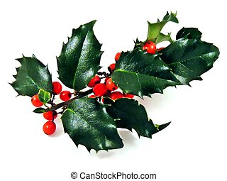 A sprig of holly on a white background