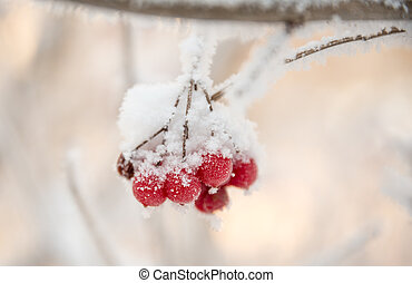 A sprig of rowan covered with frost