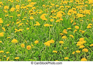 A spring field full of yellow dandelions