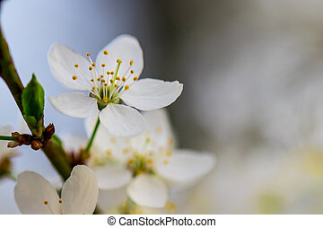 a spring Flowering branch against the blue sky backgrounds
