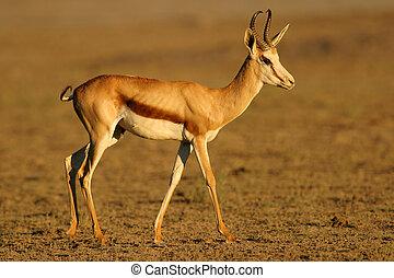 Springbok antelope - A Springbok antelope, Kalahari, South...