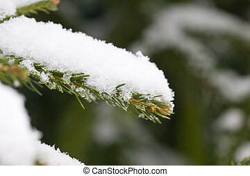 a spruce branch is snow-capped