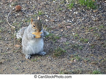 A squirrel eating a piece of salty cracker on the ground