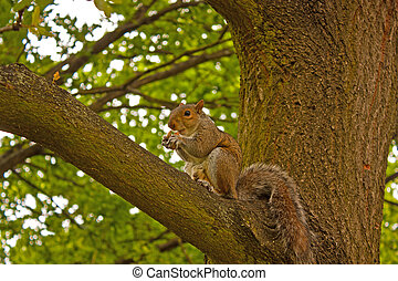 A Squirrel in Tree Eating