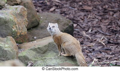 A squirrel like animal looking around. It has long tails and brown furs