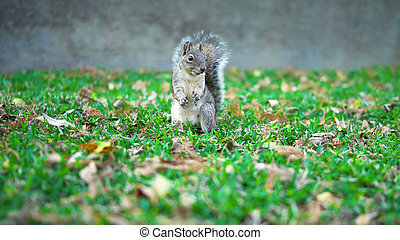A squirrel walks the lawn looking for food