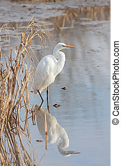 A statuesque great erget displays its elegant white plumage while hiding near dried lake reeds.