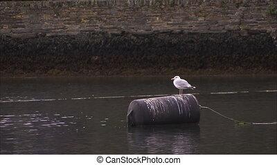 A steady herring gull - A steady shot of a herring gull on a...