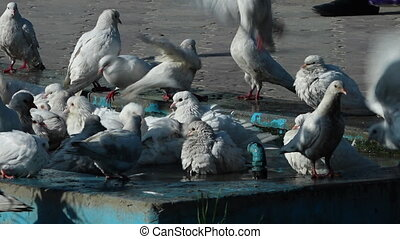 pigeons taking a bath - A steady, medium shot of a bunch of...