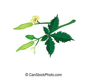 A Stem of Okra on White Background - Vegetable and Herb, ...