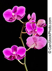A stem of Orchid flowers