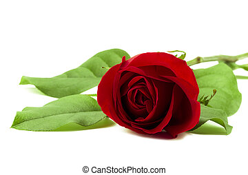 a stem of red rose