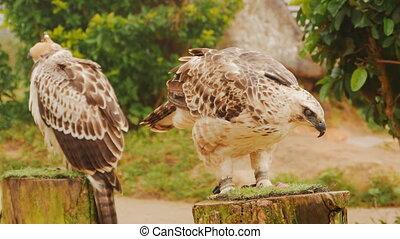 A steppe eagle tied to a pole eats meat.