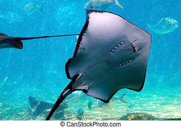 sting ray - a sting ray in tank