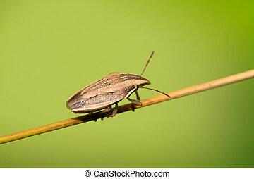 stink bug - a stink bug on the green leaf