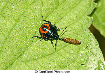 a stinkbug predation another insect on green leaf, north ...